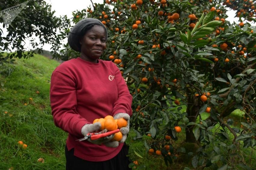 """ВИДЕО """"Золотая жила"""" Абхазии и африканцы: как собирают мандарины"""