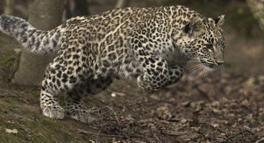 Минприроды России: идет расследование гибели леопарда в Абхазии