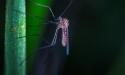 Эпидемиологи: на Черноморском побережье появились комары-переносчики лихорадок